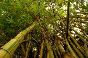 CEF bamboo